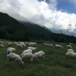 вівці на гірській галявині